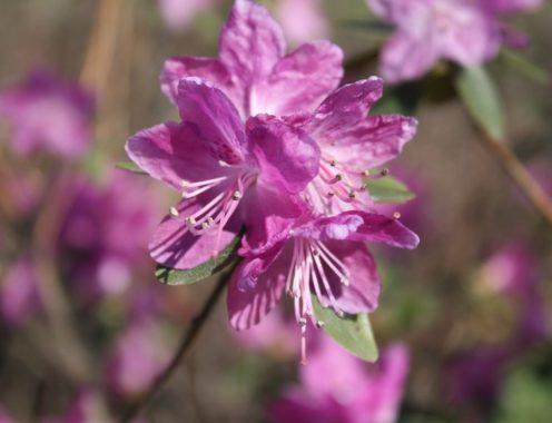 R. dahuricum