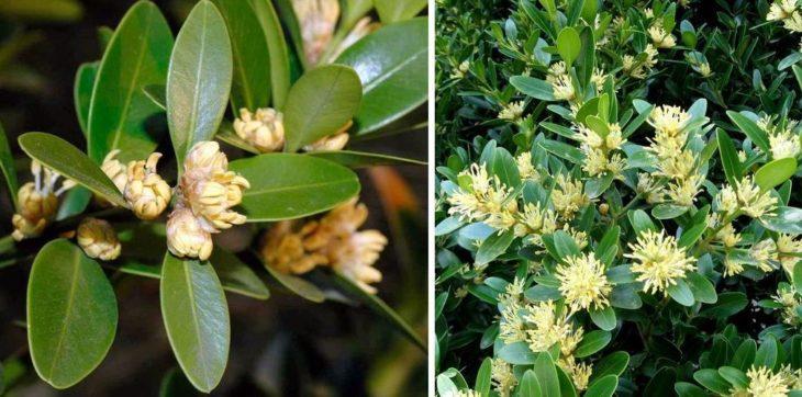 Быстрорастущий Buxus balearica