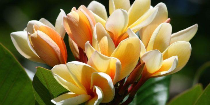 Плюмерия цветет