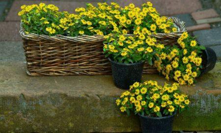 Яркие цветы санвиталия