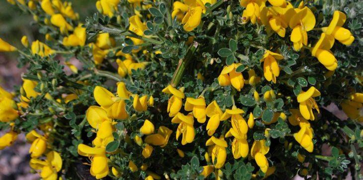 Cytisus Kewensis