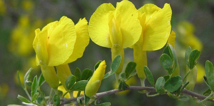 Цветы ракитника