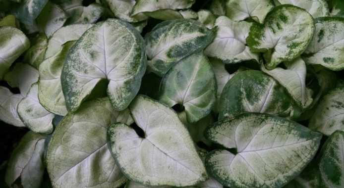 Syngonium White Butterfly фото