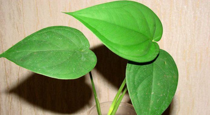 Syngonium Macrophyllum фото