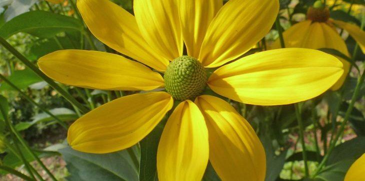 Rudbeckia Herbstsonne