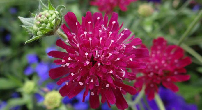 Скабиоза пурпурная