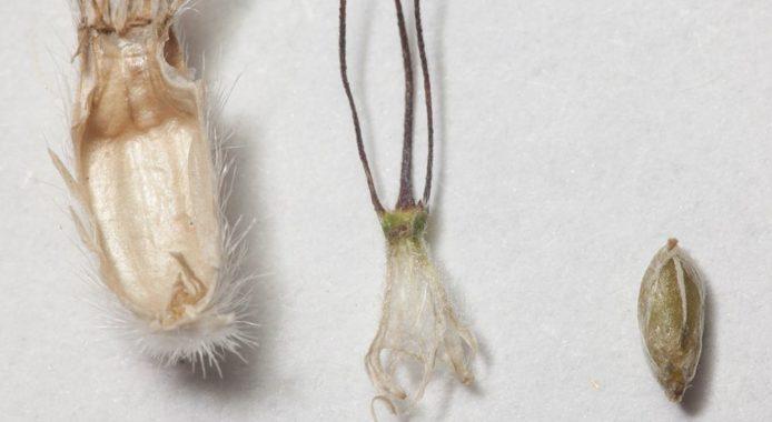 Скабиоза - семена