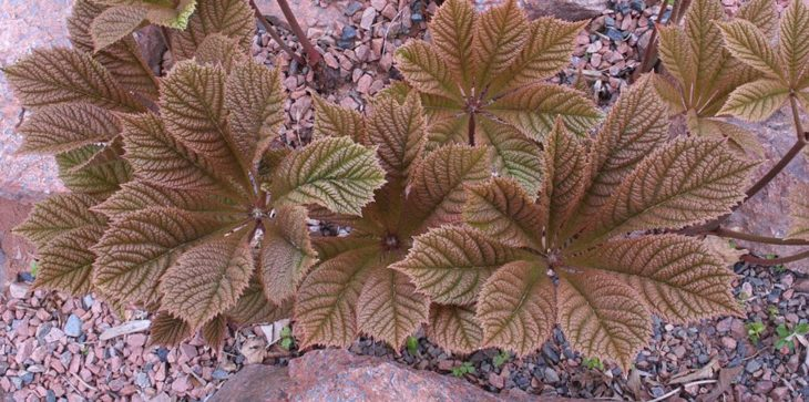 Rodgersia Chocolate Wings