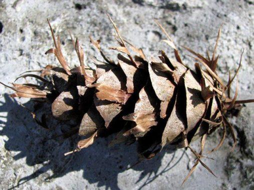 Семена псевдотсуги