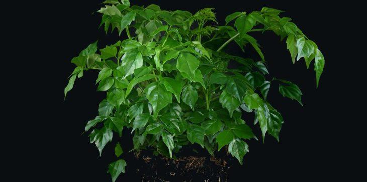 Радермахера китайская (синика)