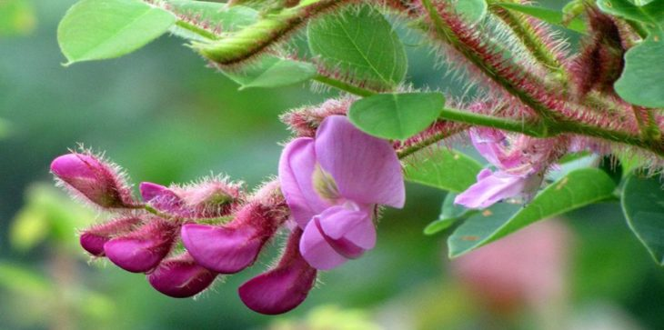 Robinia hispida L