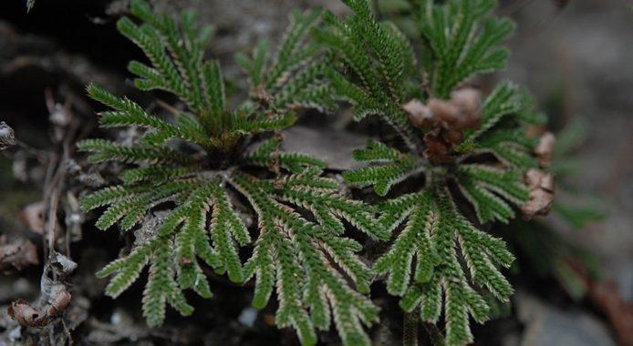 Селагинелла - выращивание в домашних условиях