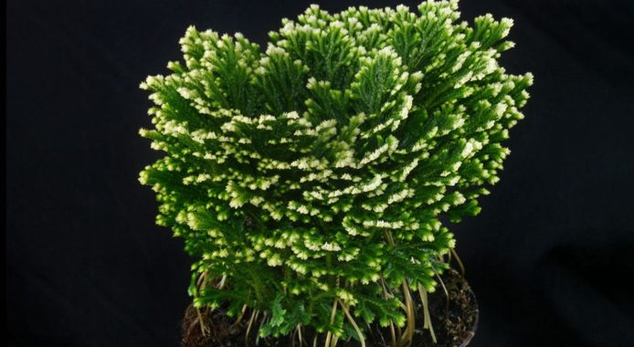Selaginella martensii
