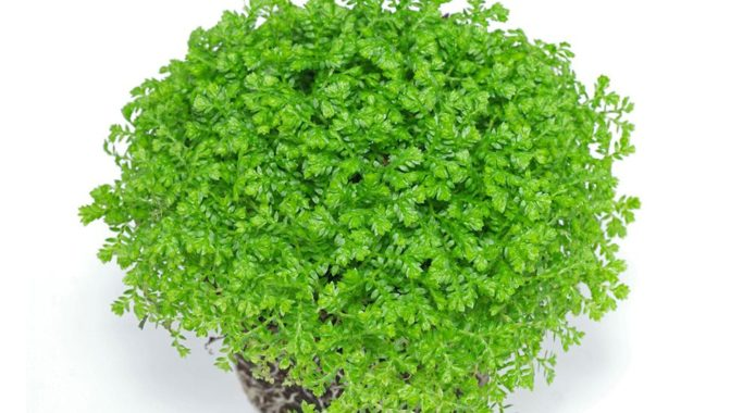 Selaginella apoda фото