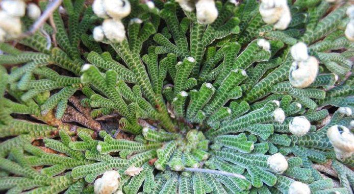 Selaginella lepidophylla фото