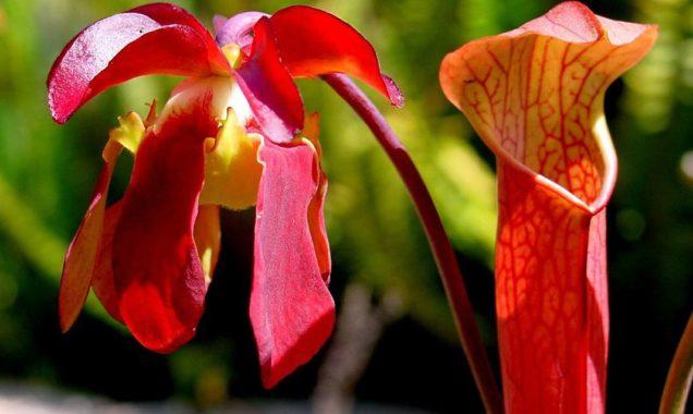 Хищное растение саррацения