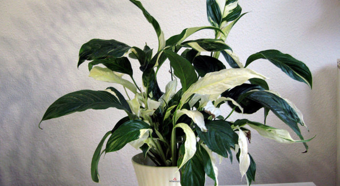 Spathiphyllum cochlearispathum Picasso