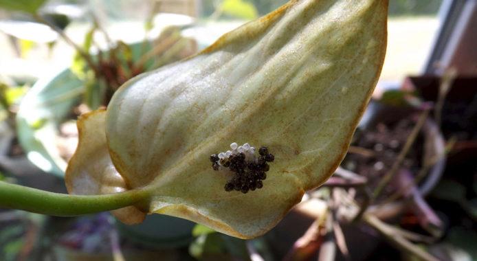 Цветок спатифиллум - вредители