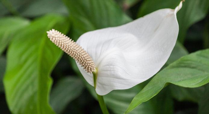 Цветок спатифиллум - описание