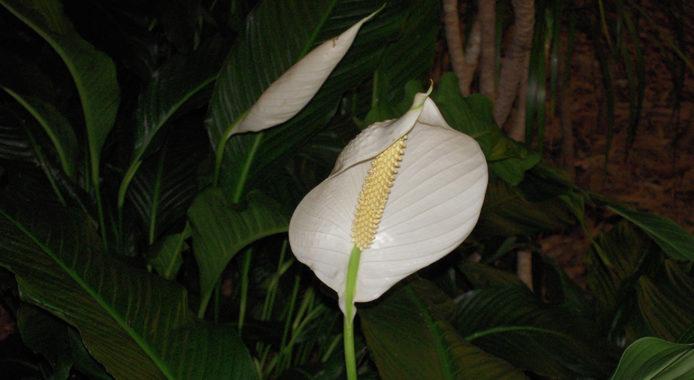 Spathiphyllum cochlearispathum Mauna Loa