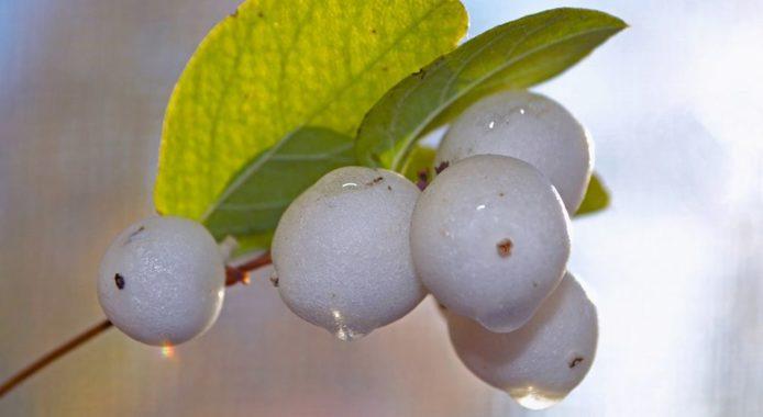 Снежноягодник - размножение семенами