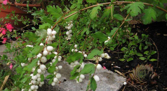 Снежноягодник - размножение деленками