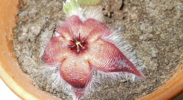 Стапелия - почвенный состав