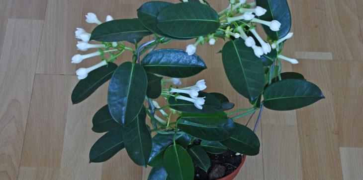 Стефанотис - опора для лианы