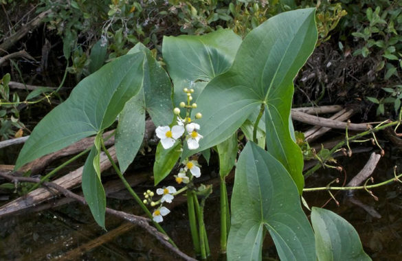 Sagittaria latifolia Willd