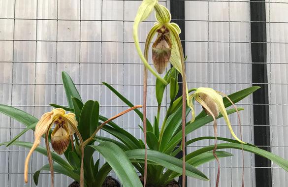 Phragmipedium caudatum фото