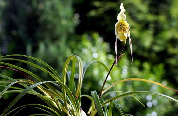 Phragmipedium pearsei
