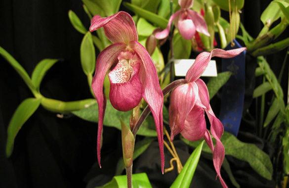 Phragmipedium sedenii P.