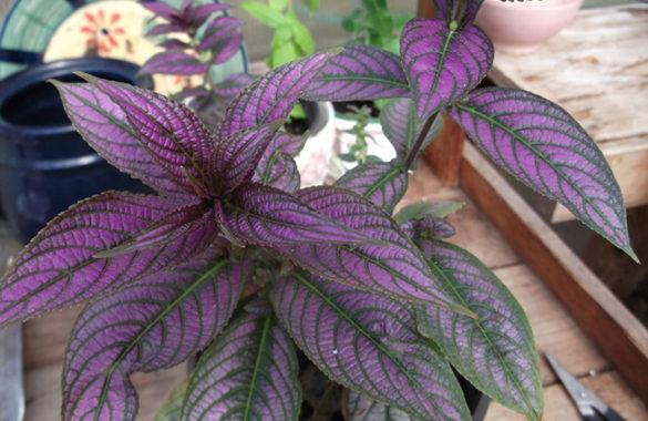 Стробилантес - выбор места для цветка