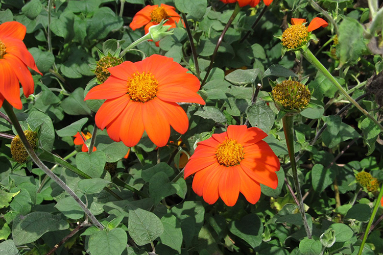 Цветок Титония - описание