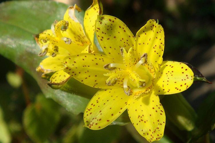 Tricyrtis flava