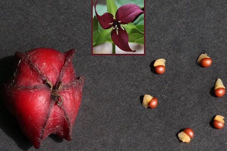 Триллиум- размножение семенами