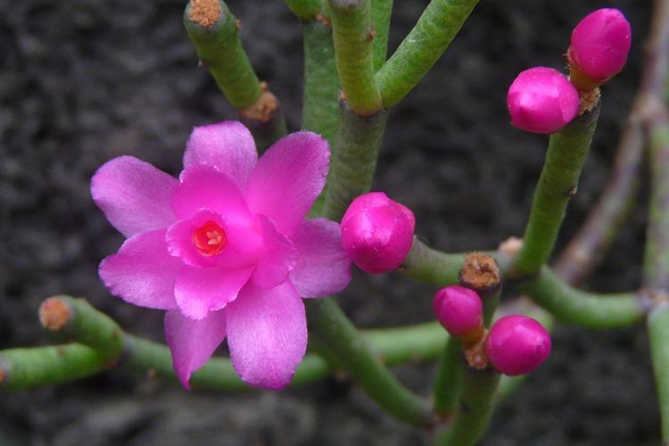 H. rosea