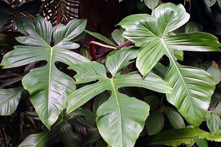 Филодендрон - листья