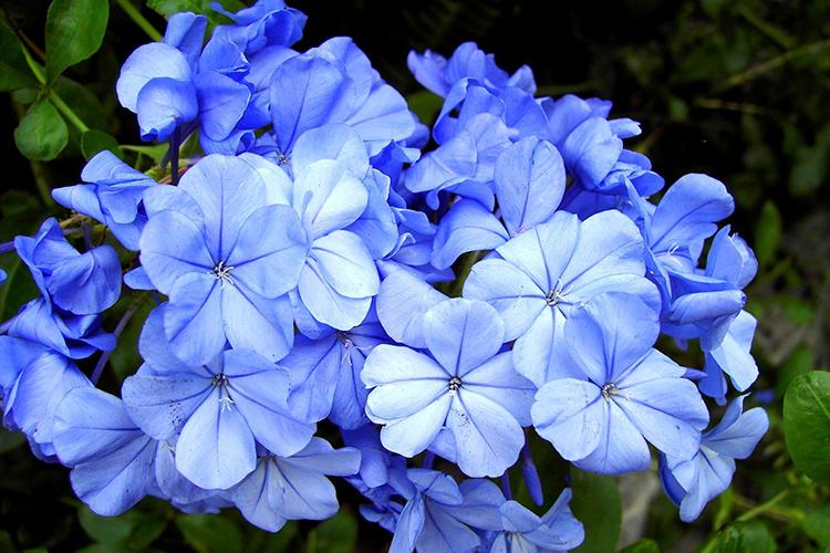 Плюмбаго голубое или свинчатка голубая