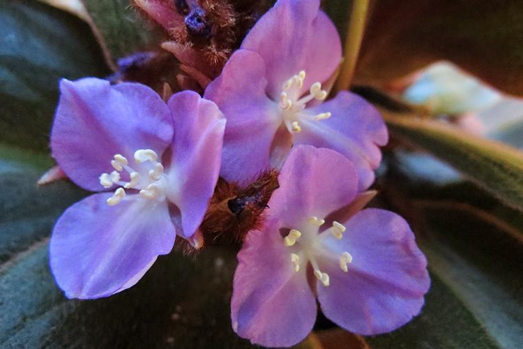 Сидерасис - цветение