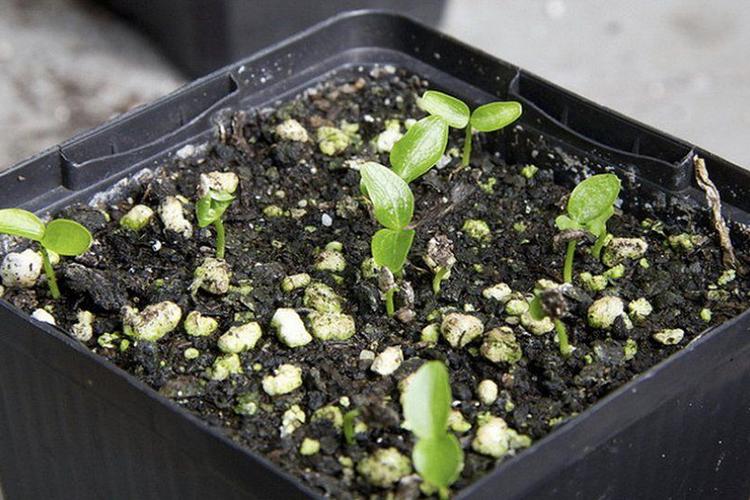 Фатсия - размножение семенами