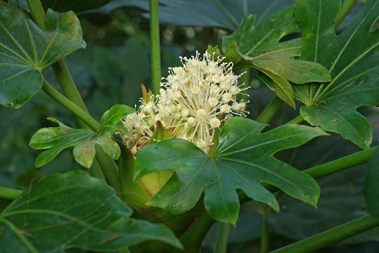 Фатсия - цветет