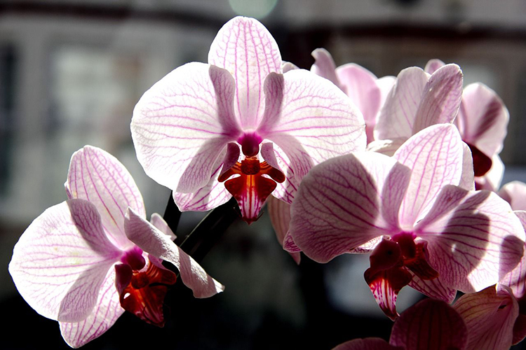 Орхидея фаленопсис - выращивание