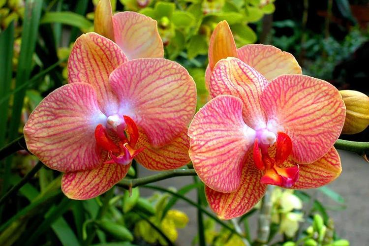 Орхидея фаленопсис - характеристики