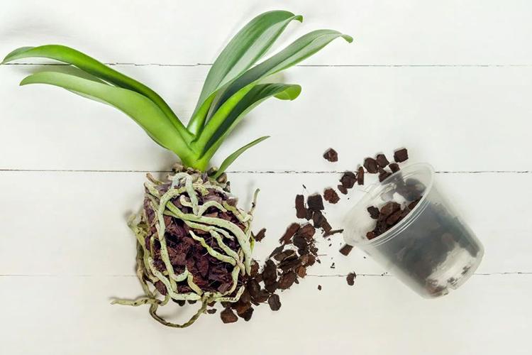Орхидея фаленопсис - пересадка