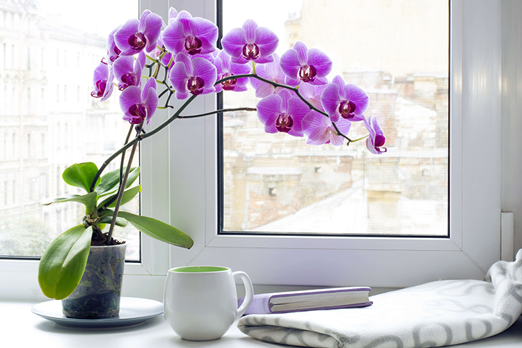 Орхидея фаленопсис - освещение