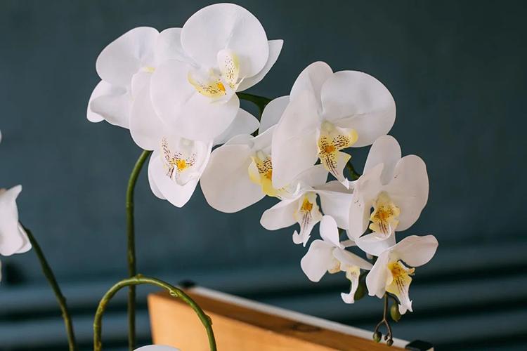 Орхидея фаленопсис - необходимая температура
