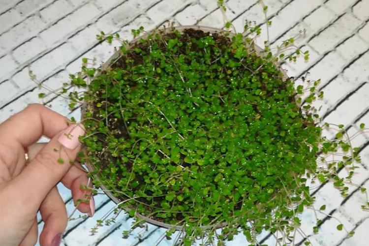 Гелксина - выбор горшка и почвы